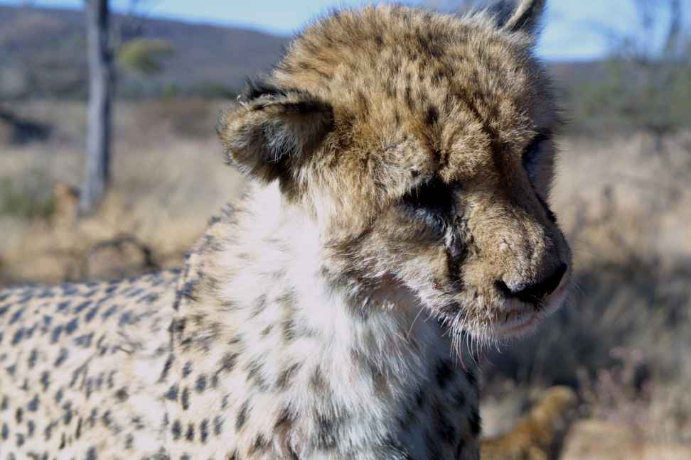 Close up of male cheetah