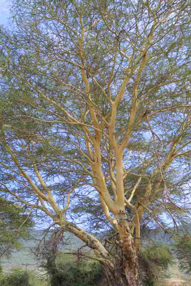Yellow-barked acacia (or fever) tree