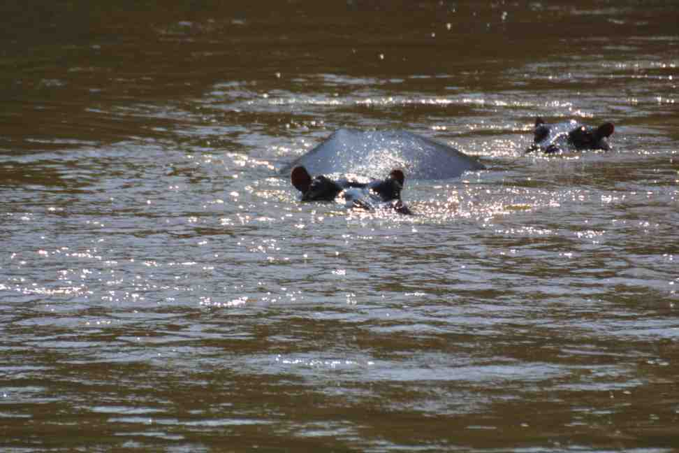 Hippoes on the Ishasha River