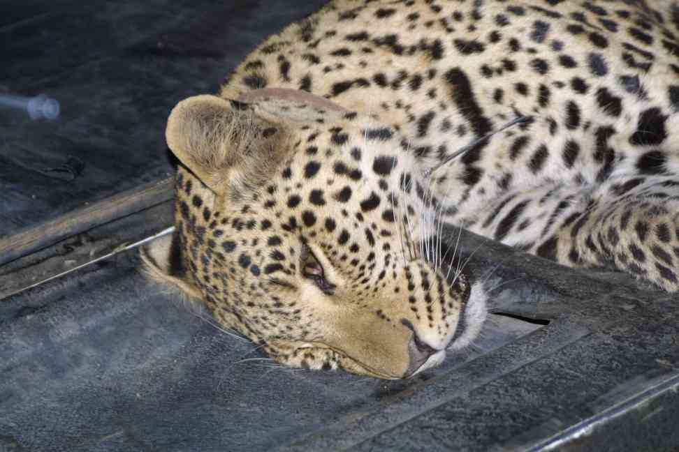 Darted female leopard on tailbord of vehicle