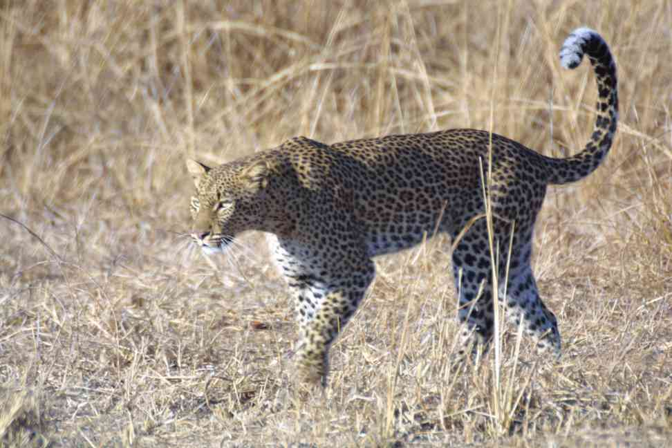 Leopard marking its territory