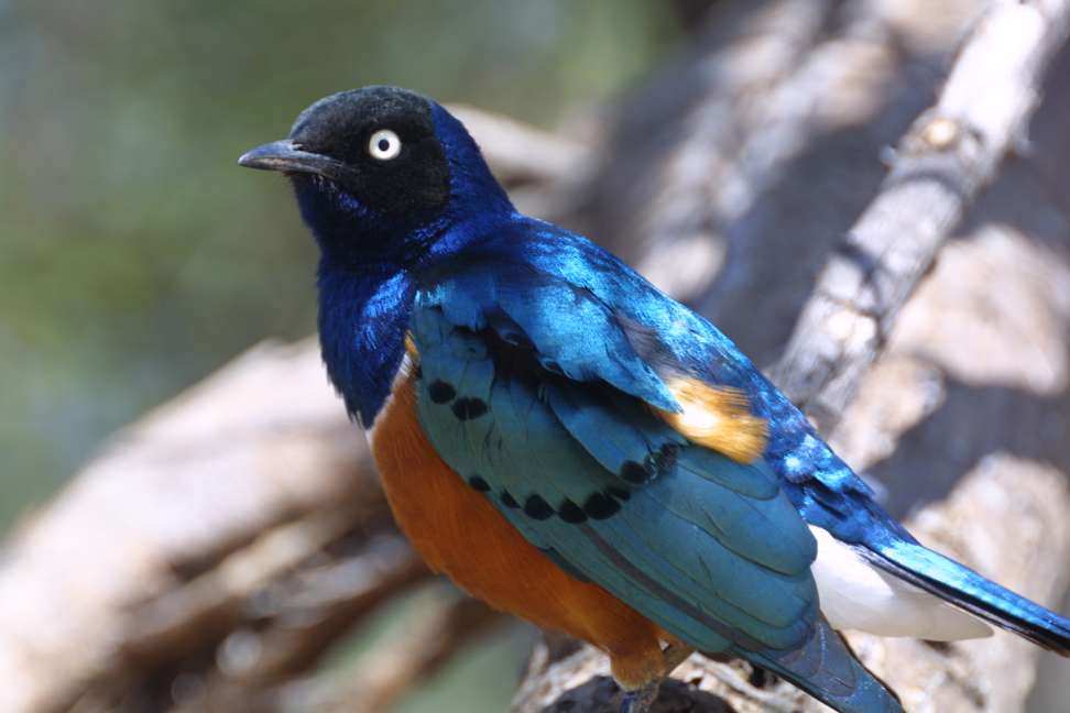 A Superb Starling