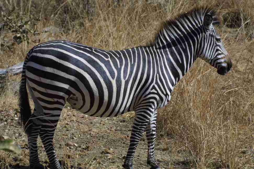 Subspecies of Burchill's Zebra